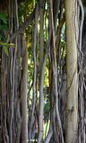 Banyan Tree Vines and Bark. From Hawaii royalty free stock photo