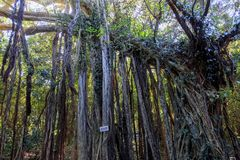 Banyan tree in Yakushima island. Japan stock photos