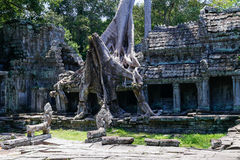 Banyan trees destroying buildings of Preah Khan  temple Royalty Free Stock Photo