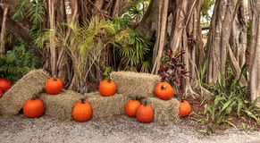 Banyan trees Ficus carica with pumpkins at Halloween. Banyan trees Ficus carica with their thick roots around a tropical path lined with pumpkins around Stock Photos