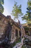Banyan trees groving on walls of Ta Prohm  temple Royalty Free Stock Photo