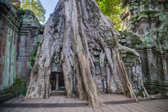 Banyan trees growing on buildings of Ta Prohm  temple Royalty Free Stock Images