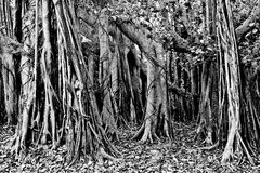 Banyan Trees Royalty Free Stock Images