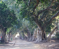 Banyan trees Royalty Free Stock Photography