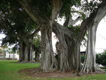 Banyan Trees. Park with trees, park with Banyan trees, Banyan trees in Florida, trees, beautiful trees, unique trees, giant trees, trees in southern Florida Royalty Free Stock Photos