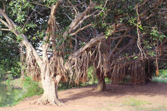 Banyan trees row Royalty Free Stock Images