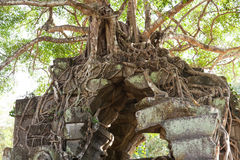 Banyan trees on ruins Royalty Free Stock Image
