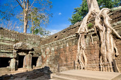 Banyan trees on ruins in Ta Prohm temple Royalty Free Stock Image