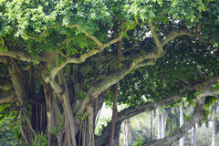Banyan trees in South Florida Royalty Free Stock Photography