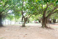 Banyan trees in tropical park Stock Image