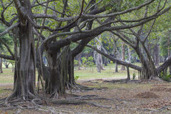 Banyan Trees. In tropical park Royalty Free Stock Images