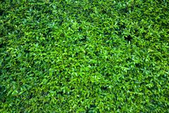 Banyan wall Royalty Free Stock Photo