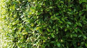 Banyan wall. The walls are adorned tree Royalty Free Stock Photography