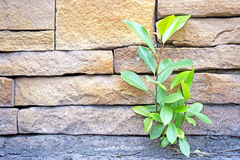 Banyan weinig groeit door de muur Royalty-vrije Stock Foto