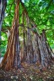 Banyanbäume Lizenzfreies Stockfoto