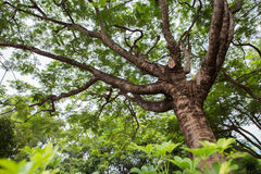 Banyanbaum stockbild