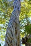 Banyanbaum Stockbilder