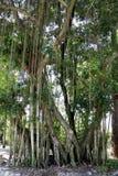 Banyanbaum stockfotos