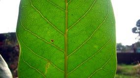 Banyanbaum-Blatt-Struktur Lizenzfreies Stockfoto