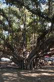 Banyanbaum Lahaina Maui Lizenzfreie Stockbilder
