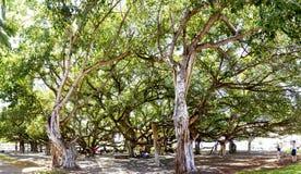Banyanbaum, Maui, Hawaii Stockfotos