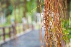 Banyanbaum am Park Stockbild