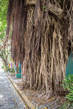 Banyanbaum-spanisches Moos Lizenzfreie Stockfotos