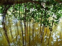 Banyanbaumwurzeln Stockbild