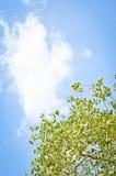 Banyanboom Stock Afbeelding