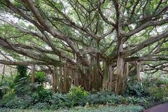 Banyanboom Stock Foto's