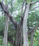 Banyanboom Royalty-vrije Stock Foto