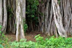 Banyanboom Royalty-vrije Stock Foto's
