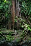 Banyanboom in de wildernissen van Sumatra stock afbeeldingen