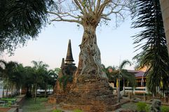 Banyanboom die oude pagode, Ayutthaya overwoekeren stock foto