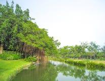 Banyanboom en de vijverachtergrond Royalty-vrije Stock Fotografie