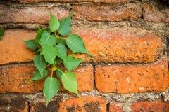 Banyanboom met wortels die uit de muurbaksteen voortkomen Royalty-vrije Stock Afbeeldingen