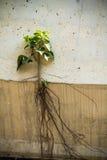 Banyanboom met wortels die uit het muurgebouw voortkomen Stock Foto's