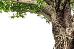 Banyanboom op witte achtergrond wordt geïsoleerd die Stock Fotografie