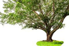 Banyanboom op witte achtergrond wordt geïsoleerd die Stock Foto