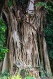 Banyanen rotar den Bodhi trädräkningen Arkivfoton