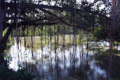 Banyanen rotar och floden Royaltyfri Fotografi