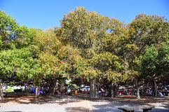 banyanlahainamaui tree Arkivfoto