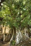 banyanmaui tree Fotografering för Bildbyråer