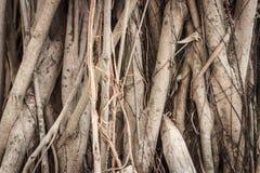 Banyanträd Arkivbilder