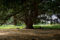 Banyanträd royaltyfri bild