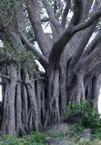 Banyanträd Arkivfoto