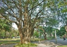 Banyanträd arkivfoton