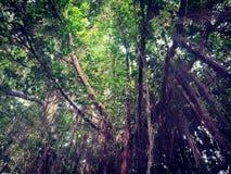 Banyanträd Royaltyfria Foton