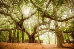 Banyanträd av Matrimandir på Auroville, Pondicherry Royaltyfri Bild
