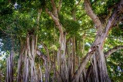 Banyanträd Hawaii Arkivfoton